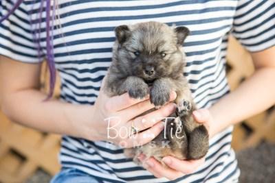 puppy18 BowTiePomsky.com Bowtie Pomsky Puppy For Sale Husky Pomeranian Mini Dog Spokane WA Breeder Blue Eyes Pomskies photo8