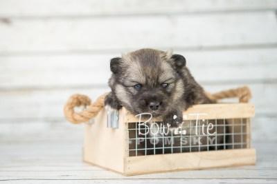 puppy19 BowTiePomsky.com Bowtie Pomsky Puppy For Sale Husky Pomeranian Mini Dog Spokane WA Breeder Blue Eyes Pomskies photo11