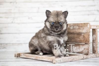 puppy19 BowTiePomsky.com Bowtie Pomsky Puppy For Sale Husky Pomeranian Mini Dog Spokane WA Breeder Blue Eyes Pomskies photo12