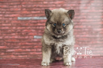 puppy19 BowTiePomsky.com Bowtie Pomsky Puppy For Sale Husky Pomeranian Mini Dog Spokane WA Breeder Blue Eyes Pomskies photo18