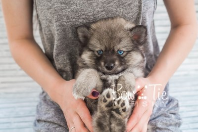 puppy19 BowTiePomsky.com Bowtie Pomsky Puppy For Sale Husky Pomeranian Mini Dog Spokane WA Breeder Blue Eyes Pomskies photo20