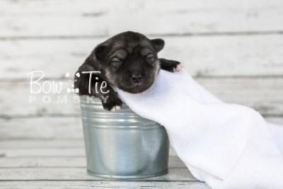 puppy19 BowTiePomsky.com Bowtie Pomsky Puppy For Sale Husky Pomeranian Mini Dog Spokane WA Breeder Blue Eyes Pomskies photo5