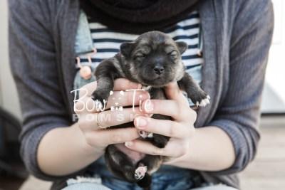puppy19 BowTiePomsky.com Bowtie Pomsky Puppy For Sale Husky Pomeranian Mini Dog Spokane WA Breeder Blue Eyes Pomskies photo6