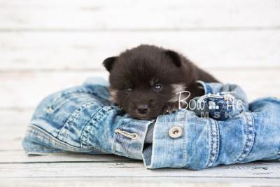 puppy20 BowTiePomsky.com Bowtie Pomsky Puppy For Sale Husky Pomeranian Mini Dog Spokane WA Breeder Blue Eyes Pomskies photo-7568
