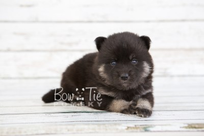 puppy20 BowTiePomsky.com Bowtie Pomsky Puppy For Sale Husky Pomeranian Mini Dog Spokane WA Breeder Blue Eyes Pomskies photo-7578