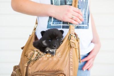 puppy20 BowTiePomsky.com Bowtie Pomsky Puppy For Sale Husky Pomeranian Mini Dog Spokane WA Breeder Blue Eyes Pomskies photo-7598