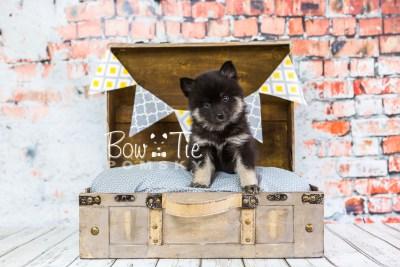 puppy20 week5 BowTiePomsky.com Bowtie Pomsky Puppy For Sale Husky Pomeranian Mini Dog Spokane WA Breeder Blue Eyes Pomskies photo-9117