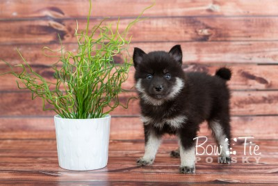 puppy20 week5 BowTiePomsky.com Bowtie Pomsky Puppy For Sale Husky Pomeranian Mini Dog Spokane WA Breeder Blue Eyes Pomskies photo-9317