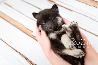 puppy20 week5 BowTiePomsky.com Bowtie Pomsky Puppy For Sale Husky Pomeranian Mini Dog Spokane WA Breeder Blue Eyes Pomskies photo-9522
