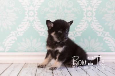 puppy20 week7 BowTiePomsky.com Bowtie Pomsky Puppy For Sale Husky Pomeranian Mini Dog Spokane WA Breeder Blue Eyes Pomskies photo-4405