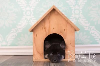 puppy20 week7 BowTiePomsky.com Bowtie Pomsky Puppy For Sale Husky Pomeranian Mini Dog Spokane WA Breeder Blue Eyes Pomskies photo-4464