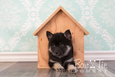 puppy20 week7 BowTiePomsky.com Bowtie Pomsky Puppy For Sale Husky Pomeranian Mini Dog Spokane WA Breeder Blue Eyes Pomskies photo-4483