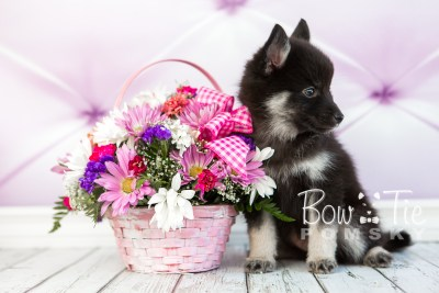 puppy20 week7 BowTiePomsky.com Bowtie Pomsky Puppy For Sale Husky Pomeranian Mini Dog Spokane WA Breeder Blue Eyes Pomskies photo-4559