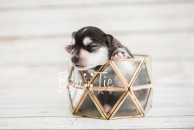 puppy21 BowTiePomsky.com Bowtie Pomsky Puppy For Sale Husky Pomeranian Mini Dog Spokane WA Breeder Blue Eyes Pomskies photo-2164