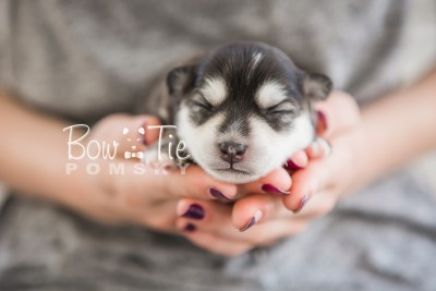 puppy21 BowTiePomsky.com Bowtie Pomsky Puppy For Sale Husky Pomeranian Mini Dog Spokane WA Breeder Blue Eyes Pomskies photo-2177