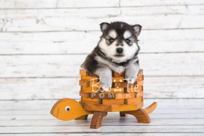 puppy21 BowTiePomsky.com Bowtie Pomsky Puppy For Sale Husky Pomeranian Mini Dog Spokane WA Breeder Blue Eyes Pomskies photo-7648