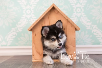puppy21 BowTiePomsky.com Bowtie Pomsky Puppy For Sale Husky Pomeranian Mini Dog Spokane WA Breeder Blue Eyes Pomskies photo1