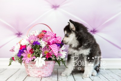 puppy21 BowTiePomsky.com Bowtie Pomsky Puppy For Sale Husky Pomeranian Mini Dog Spokane WA Breeder Blue Eyes Pomskies photo3