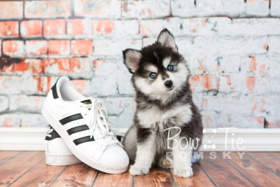 puppy21 BowTiePomsky.com Bowtie Pomsky Puppy For Sale Husky Pomeranian Mini Dog Spokane WA Breeder Blue Eyes Pomskies photo4