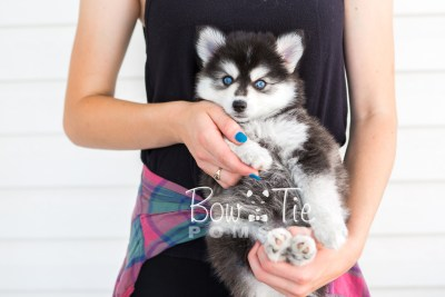 puppy21 BowTiePomsky.com Bowtie Pomsky Puppy For Sale Husky Pomeranian Mini Dog Spokane WA Breeder Blue Eyes Pomskies photo6