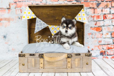 puppy21 week5 BowTiePomsky.com Bowtie Pomsky Puppy For Sale Husky Pomeranian Mini Dog Spokane WA Breeder Blue Eyes Pomskies photo-9124