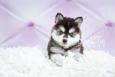 puppy21 week5 BowTiePomsky.com Bowtie Pomsky Puppy For Sale Husky Pomeranian Mini Dog Spokane WA Breeder Blue Eyes Pomskies photo-9182