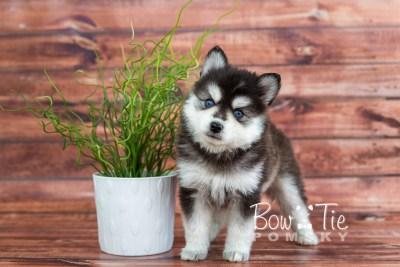 puppy21 week5 BowTiePomsky.com Bowtie Pomsky Puppy For Sale Husky Pomeranian Mini Dog Spokane WA Breeder Blue Eyes Pomskies photo-9335