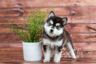 puppy21 week5 BowTiePomsky.com Bowtie Pomsky Puppy For Sale Husky Pomeranian Mini Dog Spokane WA Breeder Blue Eyes Pomskies photo-9335
