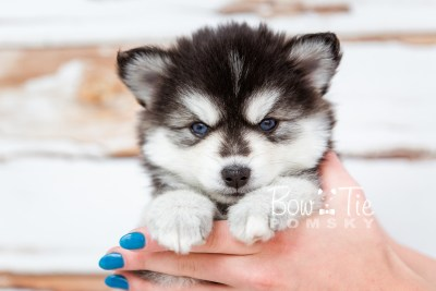 puppy21 week5 BowTiePomsky.com Bowtie Pomsky Puppy For Sale Husky Pomeranian Mini Dog Spokane WA Breeder Blue Eyes Pomskies photo-9543