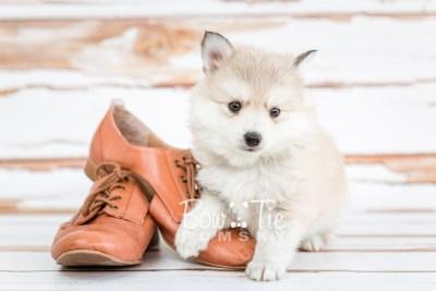 puppy22 BowTiePomsky.com Bowtie Pomsky Puppy For Sale Husky Pomeranian Mini Dog Spokane WA Breeder Blue Eyes Pomskies photo15