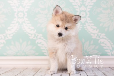 puppy22 BowTiePomsky.com Bowtie Pomsky Puppy For Sale Husky Pomeranian Mini Dog Spokane WA Breeder Blue Eyes Pomskies photo18