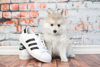 puppy22 BowTiePomsky.com Bowtie Pomsky Puppy For Sale Husky Pomeranian Mini Dog Spokane WA Breeder Blue Eyes Pomskies photo22