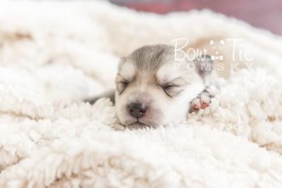 puppy22 BowTiePomsky.com Bowtie Pomsky Puppy For Sale Husky Pomeranian Mini Dog Spokane WA Breeder Blue Eyes Pomskies photo4