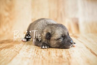 puppy23 BowTiePomsky.com Bowtie Pomsky Puppy For Sale Husky Pomeranian Mini Dog Spokane WA Breeder Blue Eyes Pomskies photo1