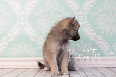 puppy23 BowTiePomsky.com Bowtie Pomsky Puppy For Sale Husky Pomeranian Mini Dog Spokane WA Breeder Blue Eyes Pomskies photo11