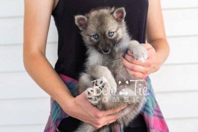 puppy23 BowTiePomsky.com Bowtie Pomsky Puppy For Sale Husky Pomeranian Mini Dog Spokane WA Breeder Blue Eyes Pomskies photo17