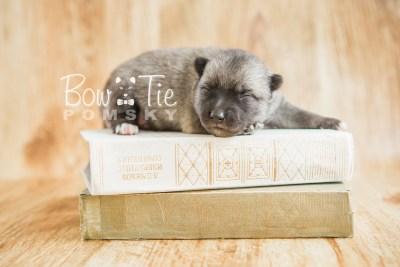 puppy23 BowTiePomsky.com Bowtie Pomsky Puppy For Sale Husky Pomeranian Mini Dog Spokane WA Breeder Blue Eyes Pomskies photo2