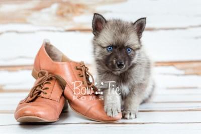 puppy23 BowTiePomsky.com Bowtie Pomsky Puppy For Sale Husky Pomeranian Mini Dog Spokane WA Breeder Blue Eyes Pomskies photo22
