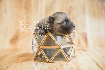 puppy23 BowTiePomsky.com Bowtie Pomsky Puppy For Sale Husky Pomeranian Mini Dog Spokane WA Breeder Blue Eyes Pomskies photo3