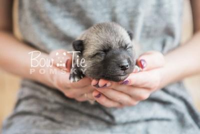 puppy23 BowTiePomsky.com Bowtie Pomsky Puppy For Sale Husky Pomeranian Mini Dog Spokane WA Breeder Blue Eyes Pomskies photo5