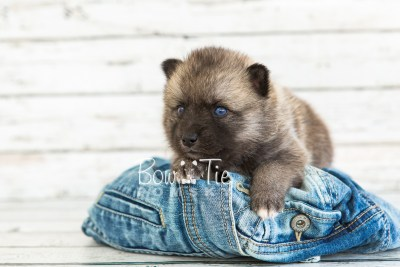 puppy23 BowTiePomsky.com Bowtie Pomsky Puppy For Sale Husky Pomeranian Mini Dog Spokane WA Breeder Blue Eyes Pomskies photo6