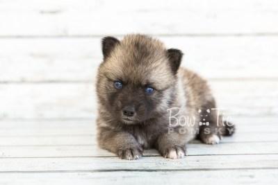 puppy23 BowTiePomsky.com Bowtie Pomsky Puppy For Sale Husky Pomeranian Mini Dog Spokane WA Breeder Blue Eyes Pomskies photo7