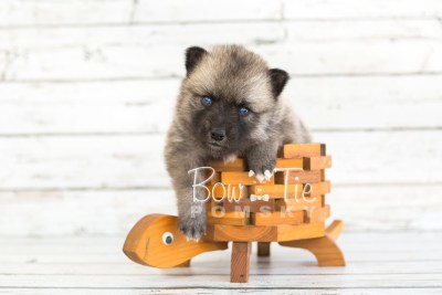 puppy23 BowTiePomsky.com Bowtie Pomsky Puppy For Sale Husky Pomeranian Mini Dog Spokane WA Breeder Blue Eyes Pomskies photo8