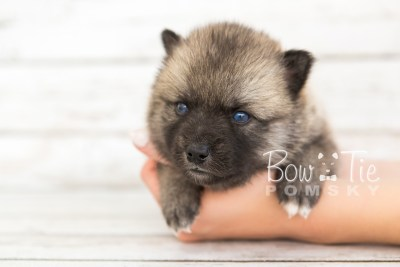 puppy23 BowTiePomsky.com Bowtie Pomsky Puppy For Sale Husky Pomeranian Mini Dog Spokane WA Breeder Blue Eyes Pomskies photo9