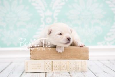 puppy24 week2 BowTiePomsky.com Bowtie Pomsky Puppy For Sale Husky Pomeranian Mini Dog Spokane WA Breeder Blue Eyes Pomskies photo-photo_fb-1