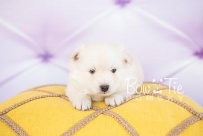 puppy24-week4-bowtiepomsky-com-bowtie-pomsky-puppy-for-sale-husky-pomeranian-mini-dog-spokane-wa-breeder-blue-eyes-pomskies-photo_fb-1