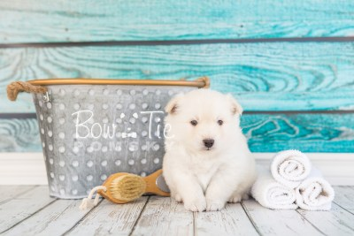 puppy24-week4-bowtiepomsky-com-bowtie-pomsky-puppy-for-sale-husky-pomeranian-mini-dog-spokane-wa-breeder-blue-eyes-pomskies-photo_fb-2