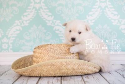 puppy24-week4-bowtiepomsky-com-bowtie-pomsky-puppy-for-sale-husky-pomeranian-mini-dog-spokane-wa-breeder-blue-eyes-pomskies-photo_fb-4