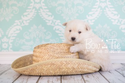 puppy24-week4-bowtiepomsky-com-bowtie-pomsky-puppy-for-sale-husky-pomeranian-mini-dog-spokane-wa-breeder-blue-eyes-pomskies-photo_fb-4