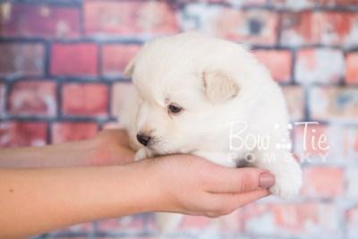 puppy24-week4-bowtiepomsky-com-bowtie-pomsky-puppy-for-sale-husky-pomeranian-mini-dog-spokane-wa-breeder-blue-eyes-pomskies-photo_fb-6